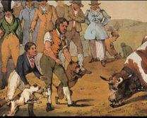 Bull baiting dogs